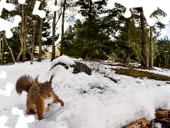 winter, forest, squirrel