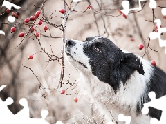dog, Twigs, Fruits, Border Collie