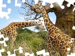 giraffe, Two