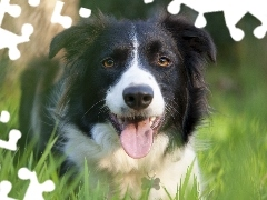 grass, Meadow, Border, Collie