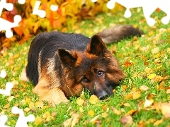 grass, Leaf, German Shepherd