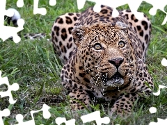 Leopards, grass