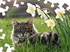 grass, Coon, cat, narcissus, Maine
