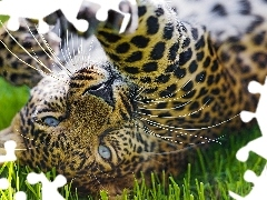 grass, Leopards, paw