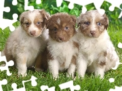 Australian Shepherd, Australian Shepherds, Three, puppies