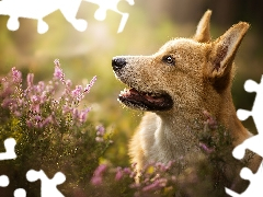 dog, muzzle, heather, Welsh corgi pembroke