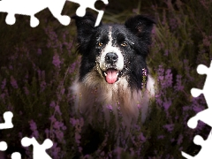 dog, muzzle, heathers, Border Collie