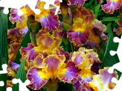 color, Irises