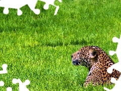 grass, a rest, Jaguar