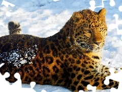 Jaguar, snow, lying