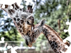 Leaf, young, mother, giraffe