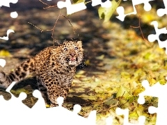 small, Autumn, Leaf, Leopards