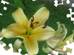 Light yellow, lilies