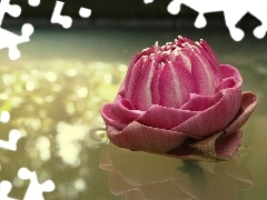 Pink, water-lily