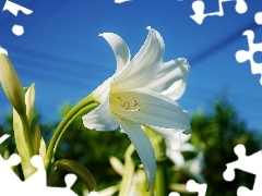 Lily, Beauty, White