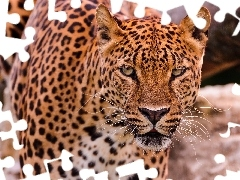 Leopards, The look