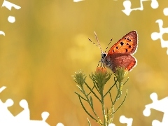Colourfull Flowers, butterfly, Lycaena