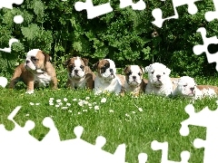 Meadow, puppies, Bulldogs