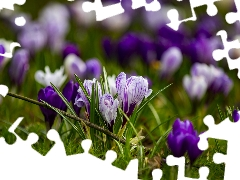 Meadow, crocuses, Spring