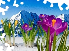 crocuses, Mountains