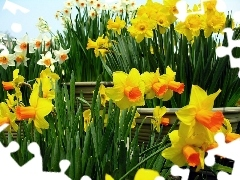 Daffodils, White, Yellow