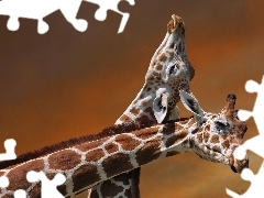 giraffe, necking, Two