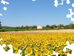 Nice sunflowers, Sky