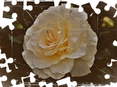 Old, effect, White, photos, rose