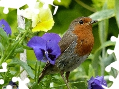 Plants, pansies, robin