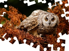 owl, conifer, branch pics, Brown Owl