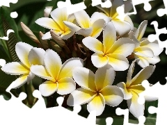 Flowers, Yellow Honda, Plumeria, white