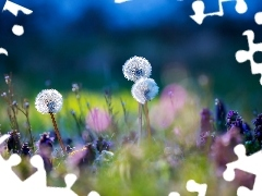 puffball, grass, Meadow, Flowers