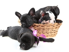 basket, French Bulldogs, Three, puppies