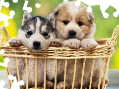 Siberian Husky, basket, Two cars, Puppies