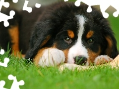 Puppy, pastoral, Bernese, dog