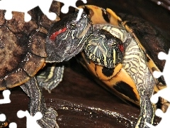 Turtles, ornamental, Reptiles, red-faced