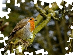 robin, branch pics, Bird