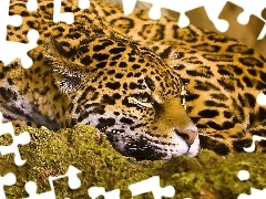 Jaguar, Rocks