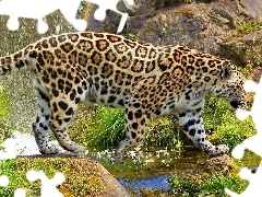 rocks, Jaguar, water
