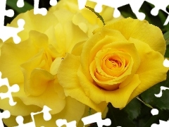 roses, Yellow
