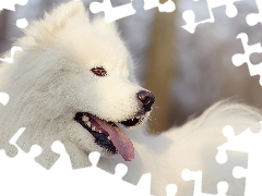 Samojed, dog, White