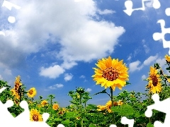 Sky, Field, sunflowers