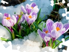 snow, crocuses, white, Spring, purple