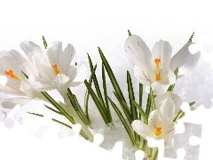 snow, Spring, White, crocuses