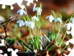 Flowers, snowdrops, nature