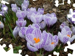crocuses, stripes, Spring, purple