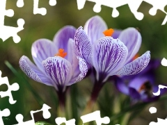 purple, Flowers, Spring, crocuses