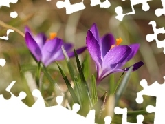 Spring, Colourfull Flowers, Violet, crocus
