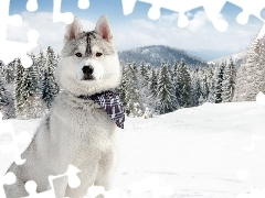 Spruces, snow, Husky, scarf