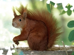 squirrel, Ginger